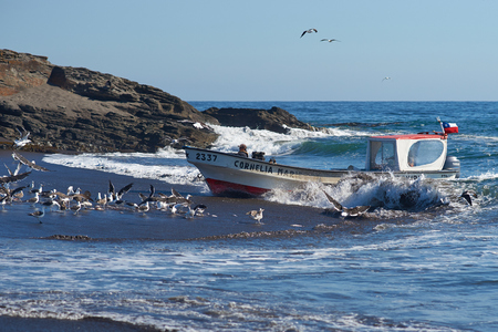 beached: Curanipe Chile  April 22 2015: Fishing boat coming ashore through a flock of seagulls on the sandy beach in the fishing village of Curanipe Chile. Once the boats are beached on the sand a tractor is used to pull the boats to safer ground. Editorial