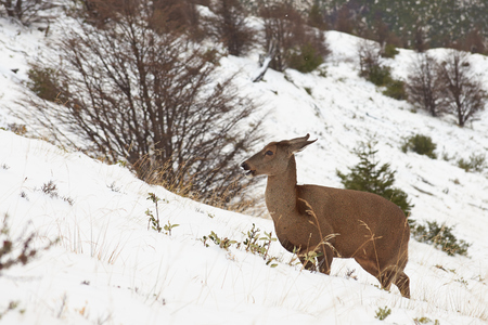 endangered species: Guemal Hippocamelus bisulcus in deep snow on a mountain side in winter in Torres del Paine National Park, Chile. Endangered species also sometimes known as the South Andean Deer or Huemul Chileno.