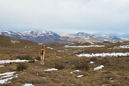 guanicoe: Guanaco Lama guanicoe walking across grasslands in Torres del Paine National Park in Patagonia, Chile Stock Photo