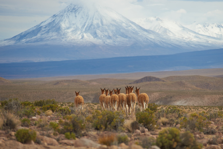 vicuna: Group of vicuna Vicugna vicugna on the Altiplano of north east Chile in Lauca National Park. In the background is the snow capped cone of the Tacora volcano 5980 m Stock Photo