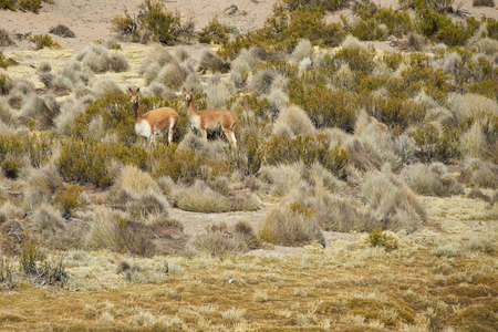 vicuna: Vicuna Vicugna vicugna grazing in a wetland area, also known as a bofedal in Spanish, in Lauca National Park on the Altiplano of northern Chile.