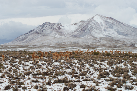 dormant: Large group of vicuna Vicugna vicugna grazing on the snow covered Altiplano of north east Chile in Lauca National Park. In the background is the dormant Taapaca volcano 5860 m
