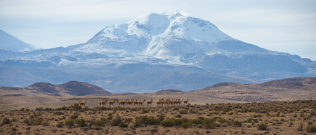 vicuna: Large group of vicuna Vicugna vicugna on an open plain in Lauca National Park on the Altiplano in north east Chile. In the background is the snow capped active Guallatiri volcano 6063 m. Stock Photo
