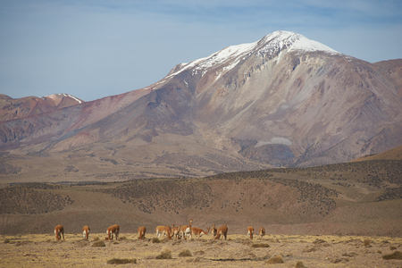 vicuna: Group of vicuna Vicugna vicugna on an open plain in Vicunas National Park on the Altiplano in north east Chile.