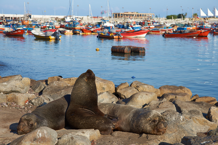 fishing fleet: Wild South American Sea Lions Otaria flavescens basking on rocks in the fishing harbour at Iquique in northern Chile. The sea lions congregate in the harbour hoping for scraps from the local fishing fleet. Stock Photo