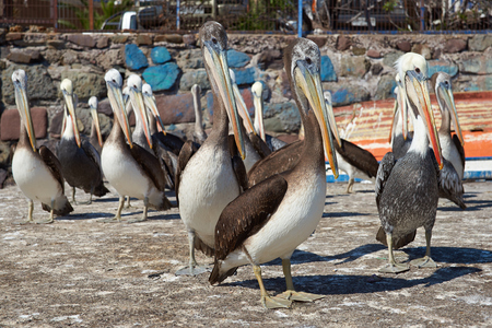 dockside: Peruvian Pelicans Pelecanus thagus standing on the dockside in the busy port of Iquique in Northern Chile