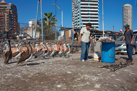 dockside: IQUIQUE, CHILE - JULY 7, 2015: Peruvian Pelicans Pelecanus thagus standing on the dockside hoping for fish scraps from a group of local fishermen in the busy port of Iquique in Northern Chile