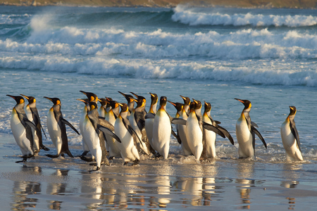 king penguins: Large group of King Penguins Aptenodytes patagonicus come ashore at Volunteer Point in the Falkland Islands. Stock Photo