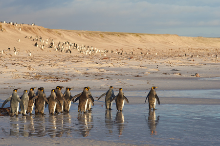 volunteer point: Large group of King Penguins Aptenodytes patagonicus walking along a sandy beach looking for a suitable spot to enter the sea at Volunteer Point in the Falkland Islands.