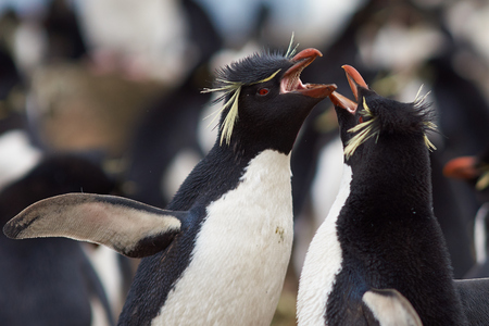 courting: Rockhopper Penguins Eudyptes chrysocome courting on Bleaker Island in the Falkland Islands. Stock Photo