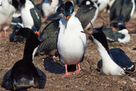phalacrocorax atriceps: Nesting Imperial Shag Phalacrocorax atriceps albiventer in large colony on Bleaker Island on the Falkland Islands