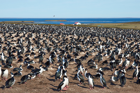 phalacrocorax atriceps: Large colony of Imperial Shag Phalacrocorax atriceps albiventer on Bleaker Island on the Falkland Islands