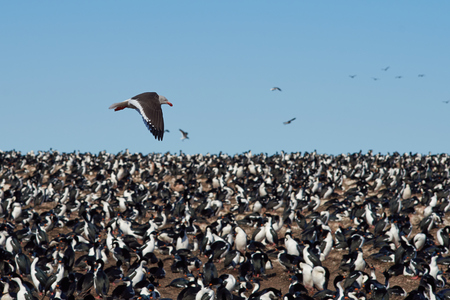phalacrocorax atriceps: Dolphin Gull Leucophaeus scoresbii flying over a colony of Imperial Shag on Bleaker Island in the Falkland Islands. Stock Photo
