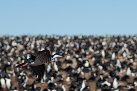 phalacrocorax atriceps: Imperial Cormorant Phalacrocorax atriceps albiventer flying above a large colony on Bleaker Island on the Falkland Islands