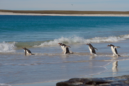 pygoscelis papua: Gentoo Penguins Pygoscelis papua heading out to sea from a large sandy beach on Bleaker Island in the Falkland Islands.