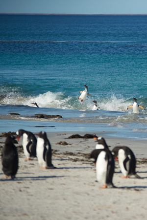 pygoscelis papua: Gentoo Penguins Pygoscelis papua emerging from the sea onto a large sandy beach on Bleaker Island in the Falkland Islands.
