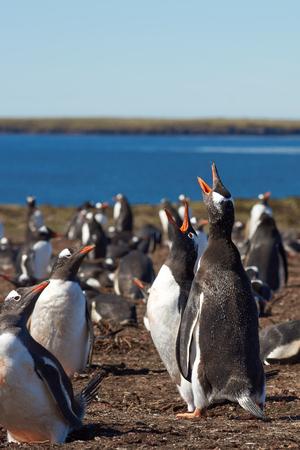 gentoo: Gentoo Penguin Pygoscelis papua colony on Bleaker Island in the Falkland Islands Stock Photo