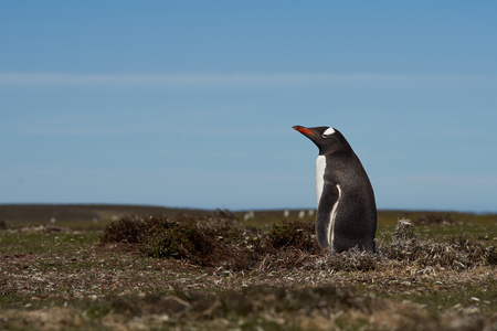 pygoscelis papua: Gentoo Penguin Pygoscelis papua standing in a grassy meadow on Bleaker Island in the Falkland Islands Stock Photo