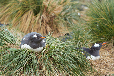 pygoscelis papua: Gentoo Penguin Pygoscelis papua sitting on its nest on a clump of tussock grass on Sealion Island in the Falkland Islands.