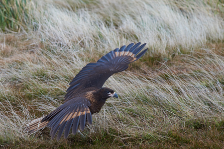 striated: Striated Caracara Phalcoboenus australis coming into land on Sealion Island in the Falkland Islands.