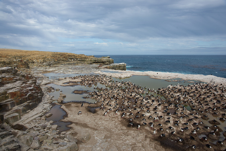 phalacrocorax atriceps: Large colony of Imperial Shag Phalacrocorax atriceps albiventer on the cliffs of Sealion Island in the Falkland Islands.