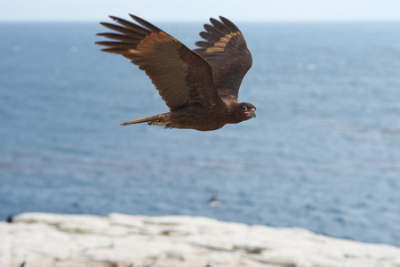 wings: Striated Caracara Phalcoboenus australis flying along the cliffs of Sealion Island in the Falkland Islands.