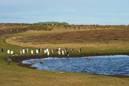 pygoscelis papua: Gentoo Penguins Pygoscelis papua next to a lake on on Sealion Island in the Falkland Islands. Stock Photo