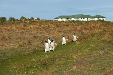 pygoscelis papua: Gentoo Penguins Pygoscelis papua walk along a grassy path towards the sea on Sealion Island in the Falkland Islands.