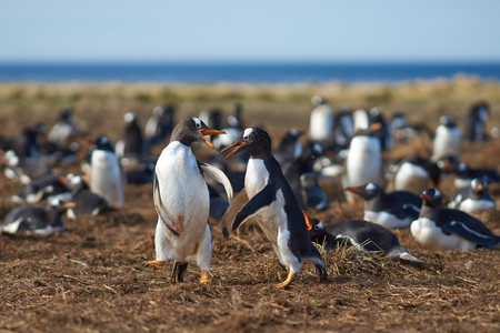 pygoscelis papua: Two Gentoo Penguins Pygoscelis papua squabbling during the breeding season on Sealion Island in the Falkland Islands.