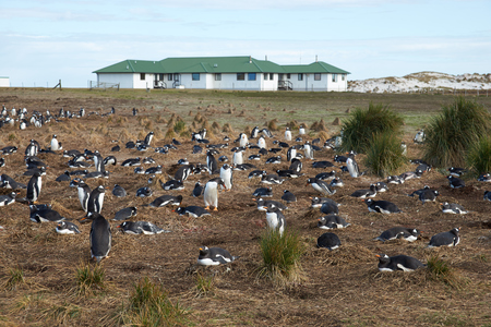 pygoscelis papua: Gentoo Penguin Pygoscelis papua colony next to Sealion Lodge on Sealion Island in the Falkland Islands.