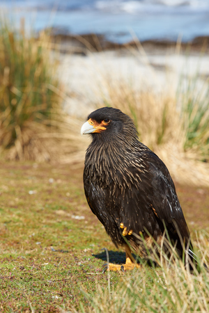 striated: Striated Caracara Phalcoboenus australis standing on a patch of grass on the coast of Sealion Island in the Falkland Islands.