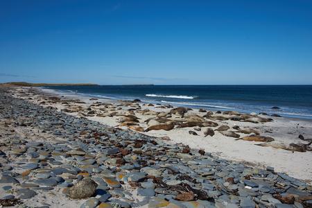 breeding: Breeding group of Southern Elephant Seal Mirounga leonina on a beach during the breeding season on Sealion Island in the Falkland Islands.