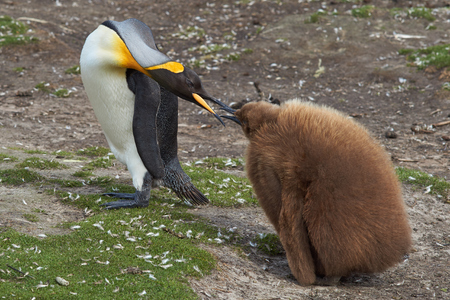 volunteer point: Adult King Penguin Aptenodytes patagonicus interacting with nearly fully grown and hungry chick at Volunteer Point in the Falkland Islands. Stock Photo