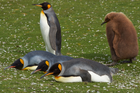 volunteer point: Adult King Penguin Aptenodytes patagonicus being followed by a hungry chick at Volunteer Point in the Falkland Islands. Stock Photo