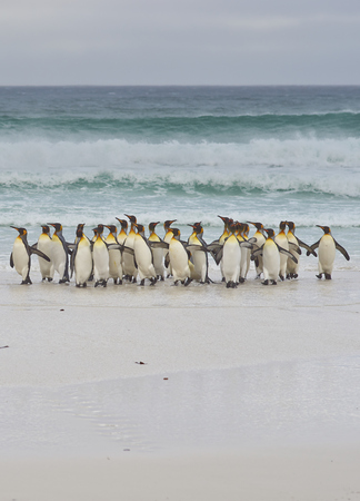 volunteer point: Large group of King Penguins Aptenodytes patagonicus come ashore after a short dip in a stormy South Atlantic at Volunteer Point in the Falkland Islands.