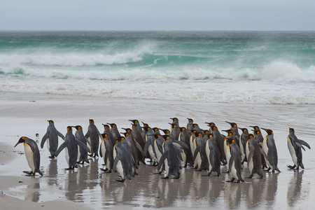 king penguins: Large group of King Penguins Aptenodytes patagonicus heading towards a stormy South Atlantic at Volunteer Point in the Falkland Islands.