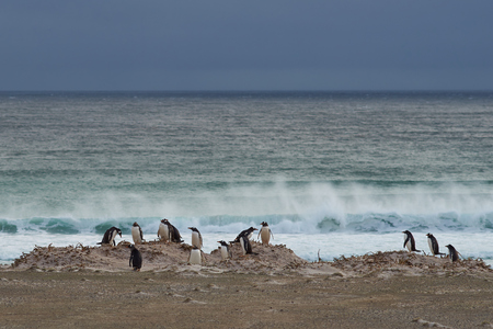 pygoscelis papua: Group of Gentoo Penguins Pygoscelis papua on the coast overlooking a stormy South Atlantic at Volunteer Point in the Falkland Islands. Stock Photo
