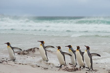 volunteer point: Group of King Penguins Aptenodytes patagonicus come ashore after a short dip in a stormy South Atlantic at Volunteer Point in the Falkland Islands.