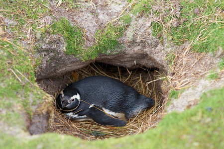 burrow: Magellanic Penguin Spheniscus magellanicus lying on its nest inside a burrow in the ground at Volunteer Point in the Falkland Islands.