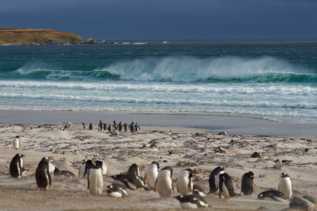 pygoscelis papua: Group of King Penguins Aptenodytes patagonicus head to sea in a stormy South Atlantic at Volunteer Point in the Falkland Islands. Gentoo Penguins Pygoscelis papua in the foreground. Stock Photo