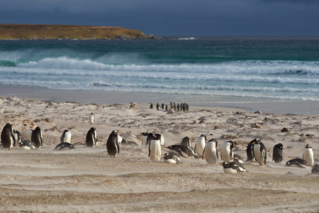 pygoscelis papua: Group of Gentoo Penguins Pygoscelis papua on the coast overlooking a stormy South Atlantic at Volunteer Point in the Falkland Islands. King Penguins Aptenodytes patagonicus on the beach beyond.