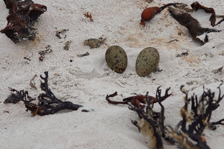volunteer point: Nest and eggs of the Magellanic Oystercatcher Haematopus leucopodus on a sandy beach at Volunteer Point in the Falkland Islands.