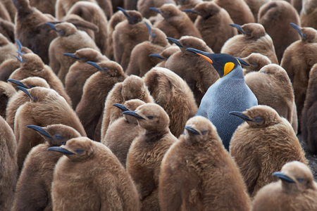Adult King Penguin Aptenodytes patagonicus standing amongst a large group of nearly fully grown chicks at Volunteer Point in the Falkland Islands.