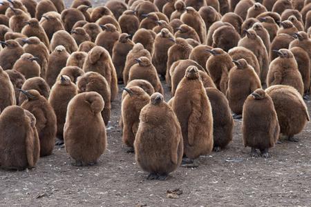 guarder�a: Gran grupo de polluelos de ping�ino rey Aptenodytes patagonicus que se unen en una guarder�a en el punto de voluntarios en las Islas Malvinas.