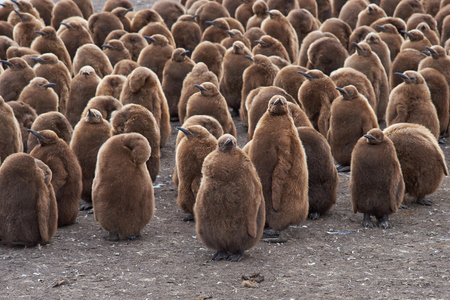 creche: Large group of King Penguin Aptenodytes patagonicus chicks standing together in a creche at Volunteer Point in the Falkland Islands. Stock Photo