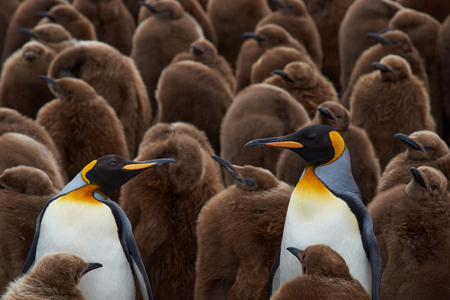 adolescent: Adult King Penguins Aptenodytes patagonicus standing amongst a large group of nearly fully grown chicks at Volunteer Point in the Falkland Islands.