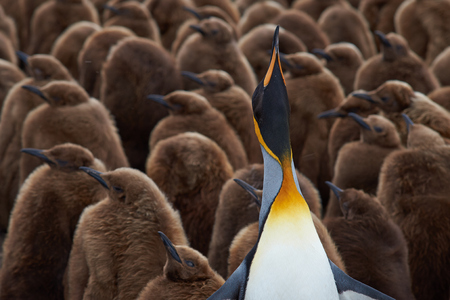 creche: Adult King Penguin Aptenodytes patagonicus standing amongst a large group of nearly fully grown chicks at Volunteer Point in the Falkland Islands.