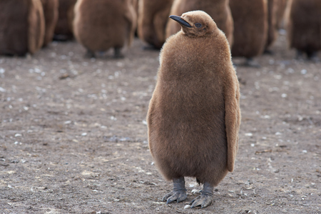 volunteer point: Young King Penguin Aptenodytes patagonicus covered in brown fluffy down at Volunteer Point in the Falkland Islands.