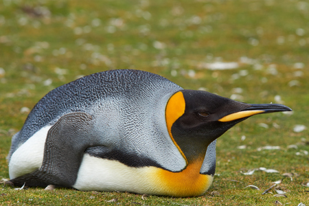 volunteer point: King Penguin Aptenodytes patagonicus resting by lying on the ground at Volunteer Point in the Falkland Islands. Stock Photo