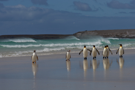 pygoscelis papua: Group of King Penguins Aptenodytes patagonicus and Gentoo Penguins Pygoscelis papua on a sandy beach on the coast of a stormy South Atlantic at Volunteer Point in the Falkland Islands.